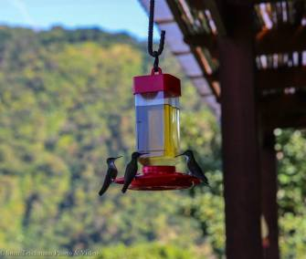 Resident Hummingbirds at Hotel Toliman
